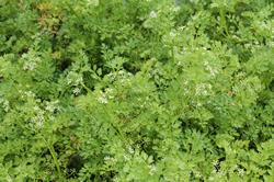 Dune Plants Apium Prostratum (Native Celery)