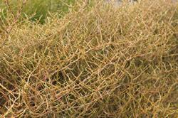 Dune Plants Coprosma Acerosa (Sand Coprosma)