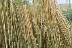 Dune Plants Poa Billardierei (syn Austrofestuca Littoralis) - Hinarepe or Sand Tussock